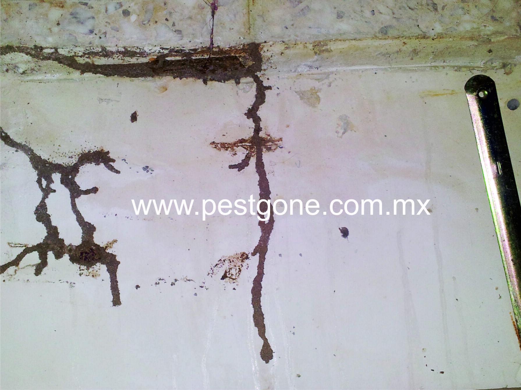 Fumigacion de termitas en monterrey pest gone for Paredes de cemento